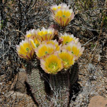 Echinocereus spec., USA, Texas, Reeves Co.