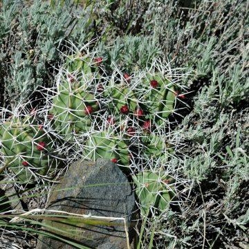 Echinocereus triglochidiatus, USA, Colorado, Chaffee Co.