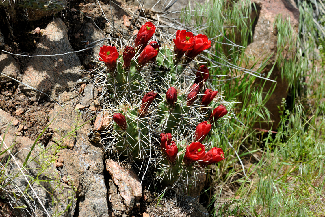 Echinocereus triglochidiatus, USA, Colorado, Fremont Co.