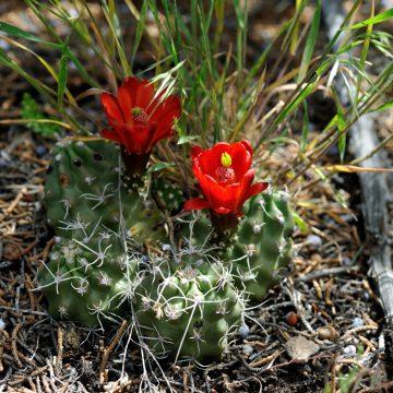 Echinocereus mojavensis fa. inermis, USA, Colorado, Mesa Co.