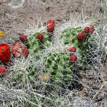 Echinocereus mojavensis, USA, Utah, Wayne Co.