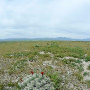 Echinocereus mojavensis, USA, Utah, Tooele Co.