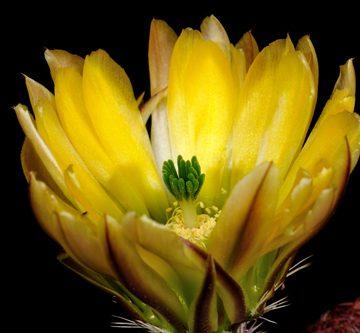 Echinocereus pectinatus subsp. rutowiorum, Mexico, Chihuahua, Chihuahua - Cuauthemoc