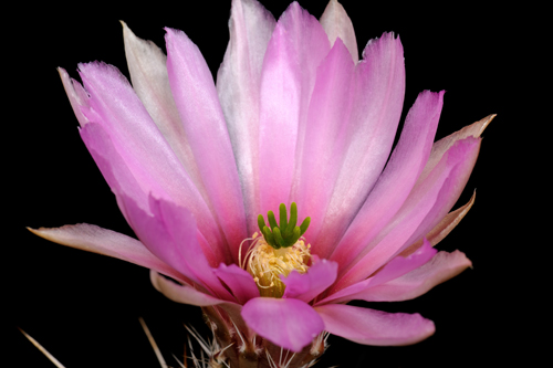 Echinocereus fendleri, USA, New Mexico, Carlsbad