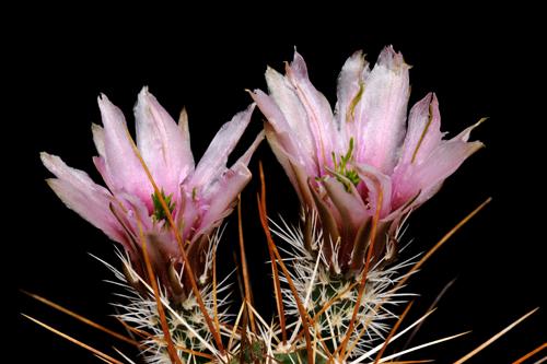 Echinocereus fendleri, Mexico, Sonora