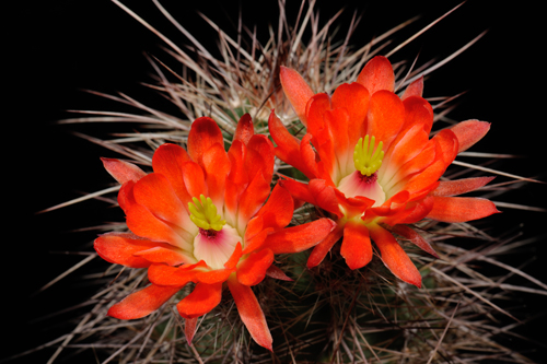 Echinocereus coccineus subsp. rosei, USA, New Mexico, Red Rock, BW161