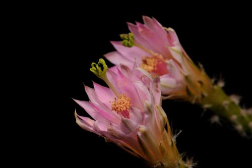 Echinocereus scheeri subsp. gentryi, Mexico, Chihuahua