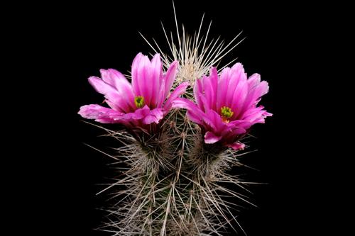 Echinocereus llanuarensis, Mexico, Sonora, Hermosillo