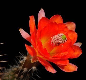 Echinocereus scheeri, Mexico, Sonora, Yecora - San Nicolas, Km 277