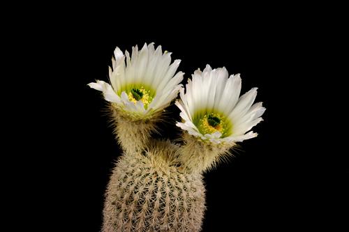 Echinocereus grandis, Mexico, Baja California, Isla Esteban
