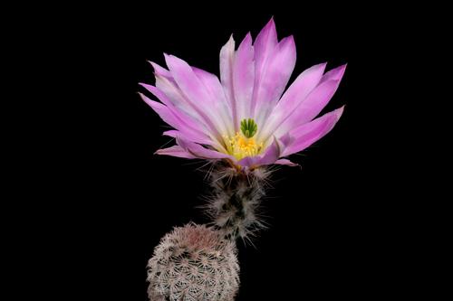Echinocereus primolanatus, Mexico, Coahuila, Hundido