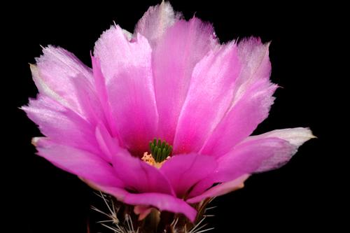 Echinocereus fendleri, USA, Arizona, Straße 83