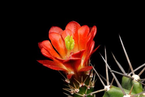 Echinocereus coccineus subsp. paucispinus, USA, Texas, Del Rio