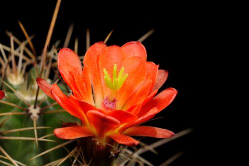 Echinocereus spec., USA, New Mexico, La Luz