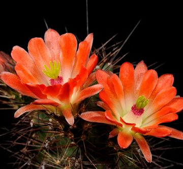 Echinocereus spec., USA, New Mexico, La Luz