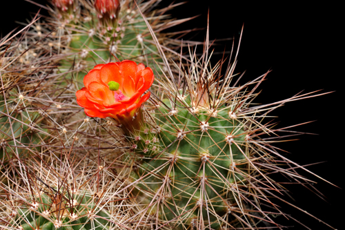 Echinocereus coccineus, USA, New Mexico, Ladrone Mts., SB0850