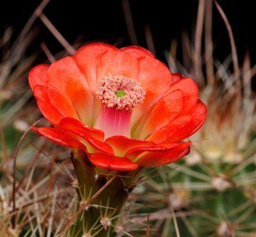 Echinocereus coccineus, USA, New Mexico, Ladrone Mts., SB0850