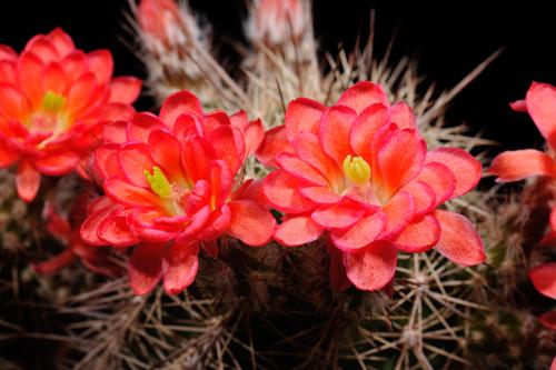Echinocereus polyacanthus, Mexico, Chihuahua, Buenaventura, BW228