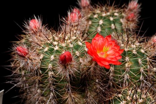 Echinocereus polyacanthus, Mexico, Durango, El Colorado
