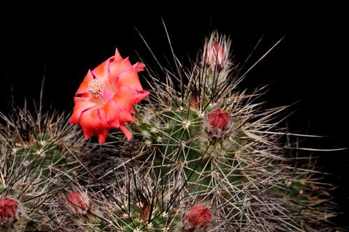 Echinocereus polyacanthus, Mexico, Chihuahua, Guachochic