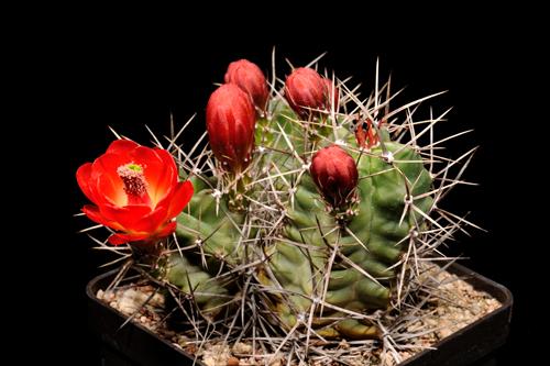 Echinocereus triglochidiatus fa. gonacanthus, USA