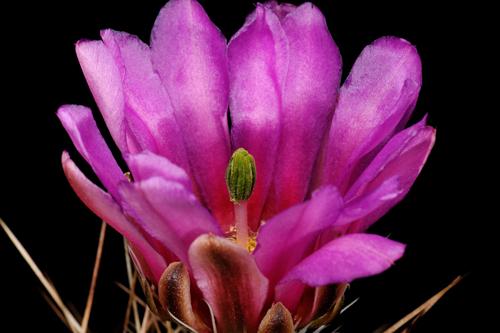 Echinocereus enneacanthus, Mexico