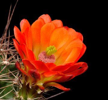 Echinocereus coccineus subsp. transpecosensis, USA, Texas, Van Hoorn