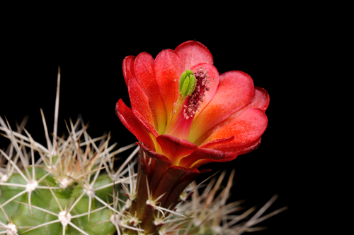 Echinocereus mojavensis, USA, Colorado, De Beque