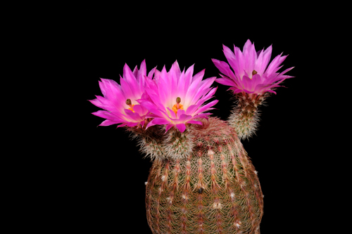 Echinocereus rigidissimus, Mexico, Sonora, El Encinal