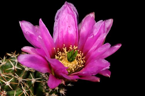 Echinocereus fendleri, Mexico, Chihuahua, Rancho Buenos