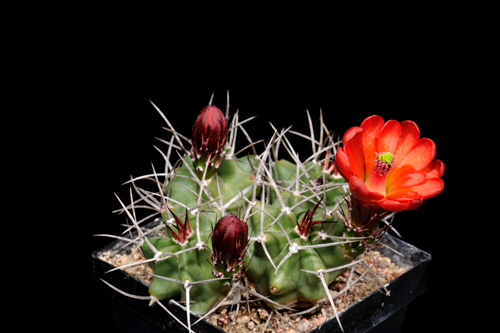 Echinocereus mojavensis, USA, Colorado, Monte Vista
