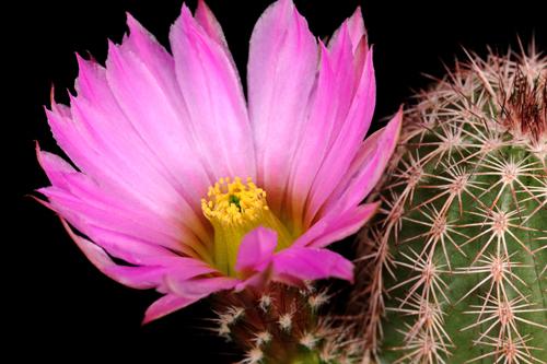 Echinocereus bristolii, Mexico, Sonora, Sahuaripa