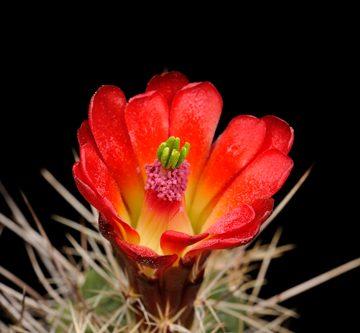 Echinocereus mojavensis, USA, Colorado, De Beque