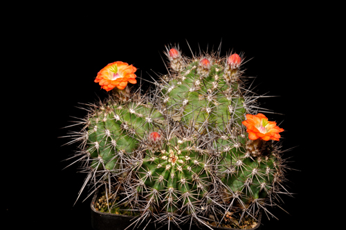 Echinocereus polyacanthus, Mexico, Chihuahua, Cd. Duarte