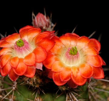 Echinocereus polyacanthus, Mexico, Durango, Durango - Mazatlan, Km 40