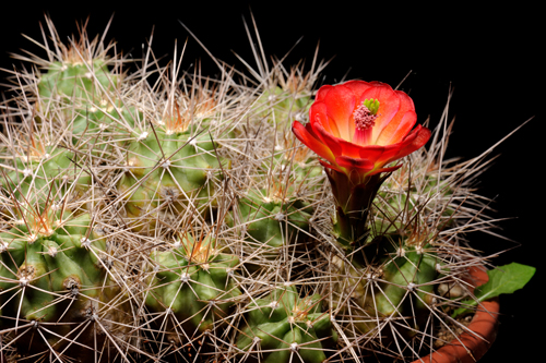 Echinocereus coccineus, USA, Arizona, Pima Point