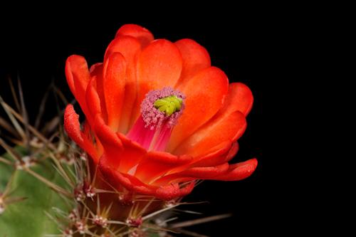Echinocereus arizonicus subsp. matudae, Mexico, Chihuahua, Buenaventura