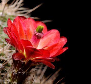 Echinocereus bakeri, USA, Arizona, Seligman - Kingman