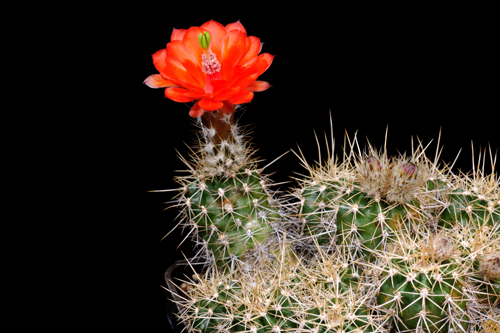 Echinocereus santaritensis subsp. bacanorensis, Mexico, Sonora, Bacanora