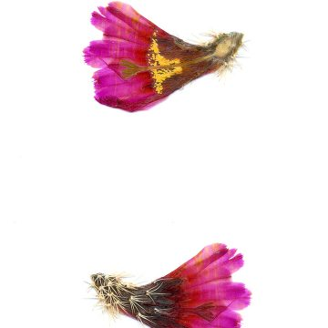 HMAO-003-0845 - Echinocereus barthelowanus, Mexico, Baja California, Isla Magdalena