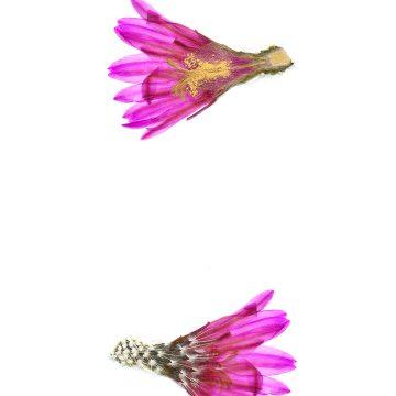 HMAO-003-0846 - Echinocereus brandegeei, Mexico, Baja California, Punta Prieta