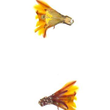 HMAO-003-0849 - Echinocereus maritimus, Mexico, Baja California, Catavina-El Rosario