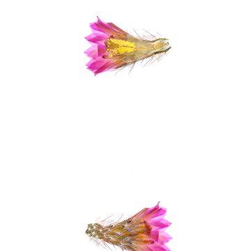 HMAO-003-0850 - Echinocereus palmeri escobedensis, Mexico, Durango, Rio Florido