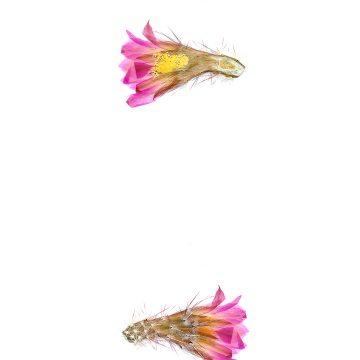 HMAO-003-0851 - Echinocereus palmeri escobedensis, Mexico, Durango, Rio Florido