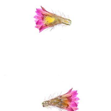 HMAO-003-0852 - Echinocereus palmeri escobedensis, Mexico, Durango, Rio Florido