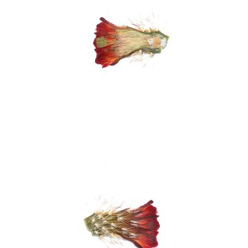 HMAO-003-0873 - Echinocereus pacificus, Mexico, Baja California, Agua Caliente