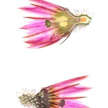 HMAO-003-0874 - Echinocereus pectinatus, Mexico, Chihuahua, Hidalgo del Parral-Rodeo