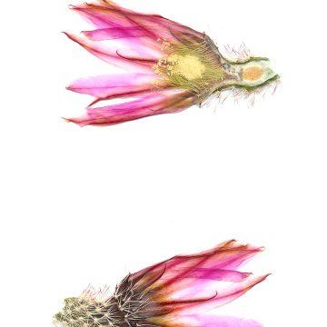 HMAO-003-0875 - Echinocereus pectinatus, Mexico, Chihuahua, Hidalgo del Parral-Rodeo