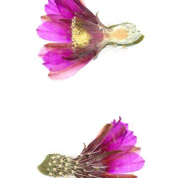 HMAO-003-0876 - Echinocereus engelmannii fasciculatus, USA, Arizona, Montezuma Well