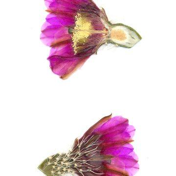 HMAO-003-0877 - Echinocereus engelmannii fasciculatus, USA, Arizona, Montezuma Well